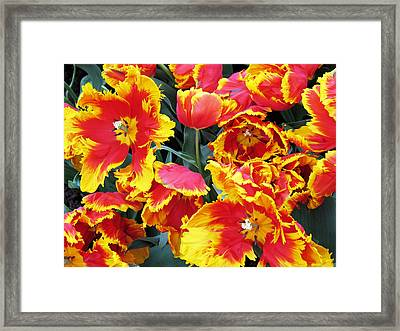 Bright Parrot Tulips Framed Print