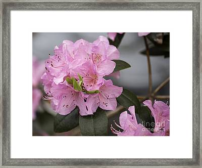 Bright Pink Azalea Framed Print by Arlene Carmel