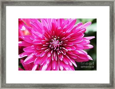 Framed Print featuring the photograph Bright Pink Mum by Judy Palkimas