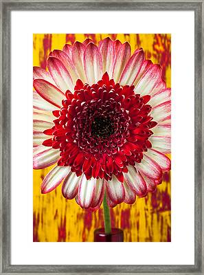 Bright Red And White Mum Framed Print by Garry Gay