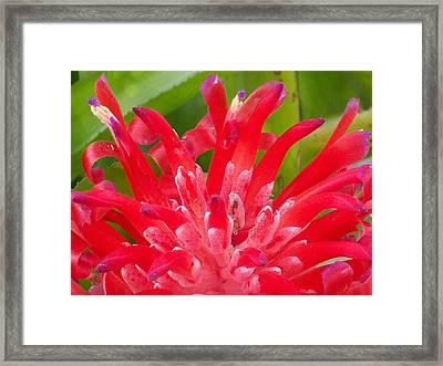 Bright Red Bomeliad Framed Print by Belinda Lee