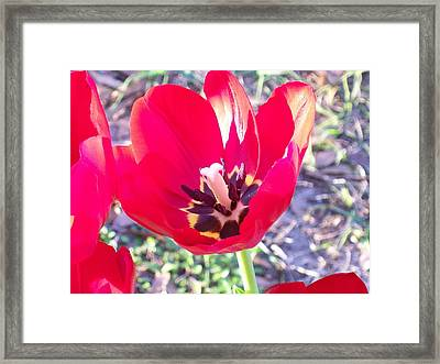 Framed Print featuring the photograph Bright Red Tulip by Belinda Lee