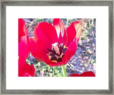 Bright Red Tulip Framed Print by Belinda Lee