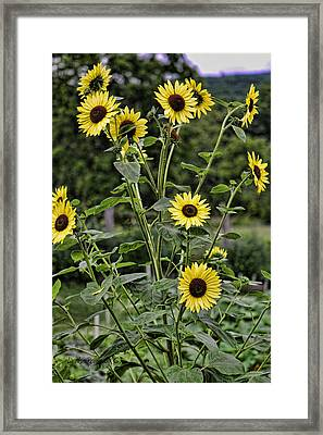 Framed Print featuring the photograph Bright Sunflowers by Denise Romano