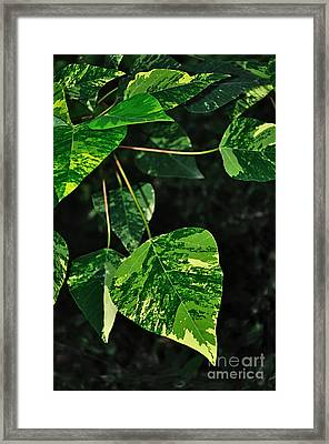 Bright Variegated Leaves Framed Print by Kaye Menner