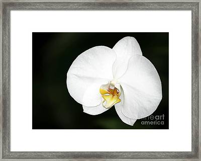 Bright White Orchid Framed Print by Sabrina L Ryan
