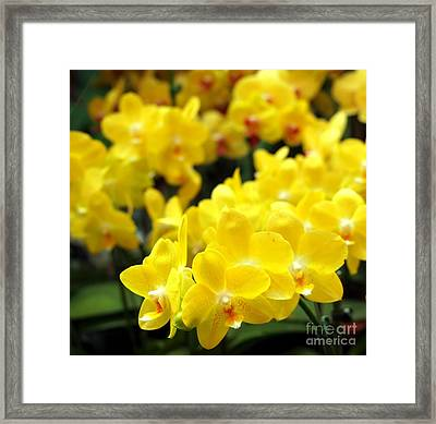 Bright Yellow Tropical Butterfly Orchids Framed Print by Yali Shi