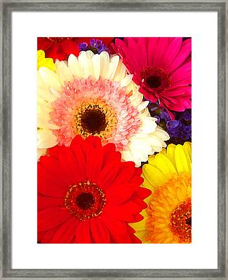 Brightly Colored Gerbers Framed Print