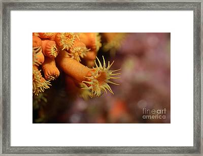 Brightly Colored Yellow Encrusting Anemone Framed Print