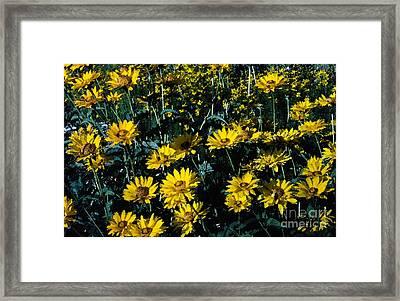 Brillant Flowers Full Of Sunshine. Framed Print by James Rabiolo