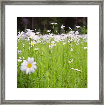 Brilliant Daisies Framed Print by Aaron Aldrich