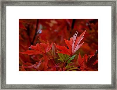 Brilliant Red Maples Framed Print by Linda Unger