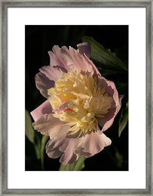 Brilliant Spring Sunshine - A Showy Pink Peony From My Garden Framed Print