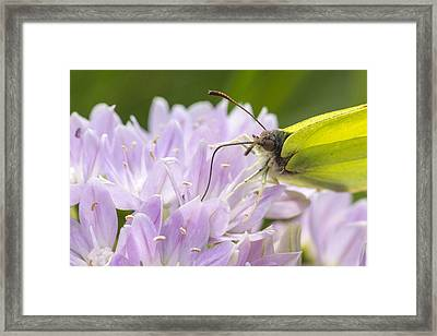 Brimstone Butterfly Framed Print by Chris Smith