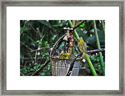 Brimstone Canary Framed Print by Rachael Milovich