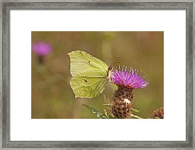 Brimstone On Creeping Thistle Framed Print by Paul Scoullar