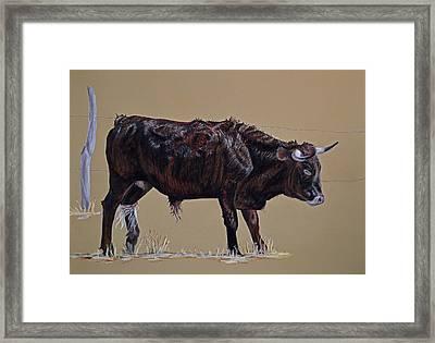 Brindle Steer Framed Print by Ann Marie Chaffin