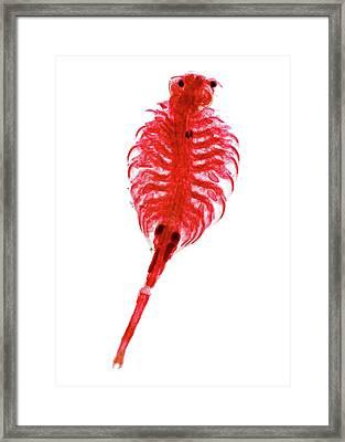 Brine Shrimp Framed Print