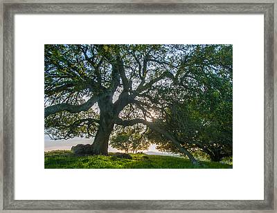Briones Oak Framed Print