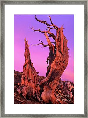 Framed Print featuring the photograph Bristlecone Pine At Sunset White Mountains Californa by Dave Welling