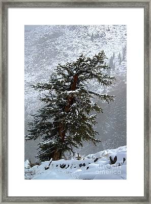 Bristlecone Pine In Snow Framed Print
