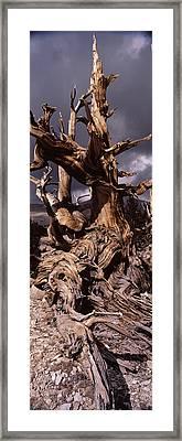 Bristlecone Pine Tree Pinus Longaeva Framed Print
