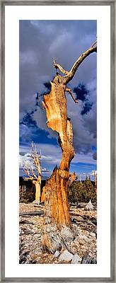 Bristlecone Pine Trees Pinus Longaeva Framed Print by Panoramic Images