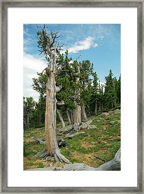 Bristlecone Pines (pinus Aristata) Framed Print by Jim West