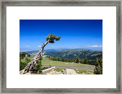 Bristlecone Survivor Framed Print by Robert Bales