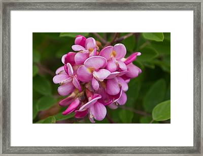 Bristly Locust Flowers Framed Print