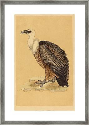 British 19th Century, Griffon Vulture Framed Print