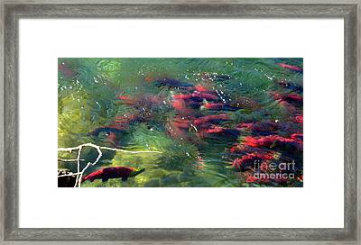 Framed Print featuring the photograph British Columbia Salmon Run  by Kathy Bassett