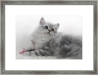 British Longhair Kitten Framed Print by Melanie Viola