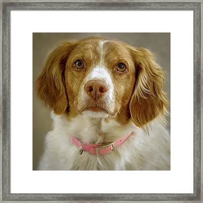 Brittany Portrait Framed Print by Bradley Clay