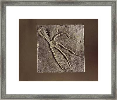 Brittle Star Fossil Framed Print by Science Photo Library
