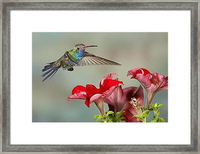 Broad Billed Hummingbird 4 Framed Print