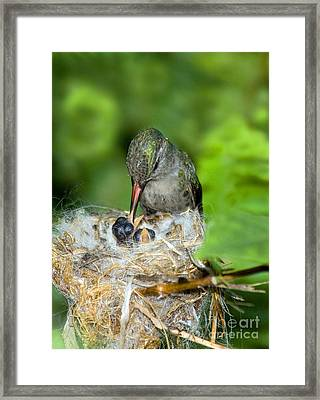 Broad-billed Hummingbird And Young Framed Print by Anthony Mercieca