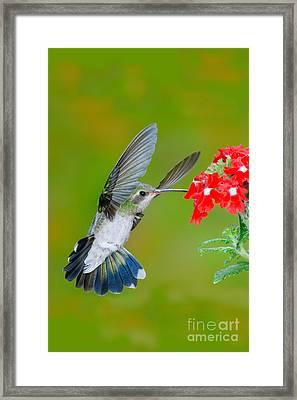 Broad-billed Hummingbird Framed Print by Anthony Mercieca