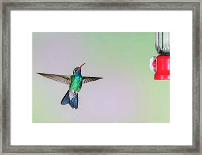 Broad-billed Hummingbird (cynanthus Framed Print by Larry Ditto