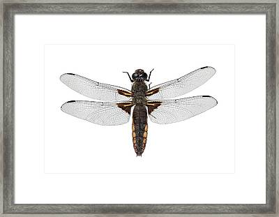 Broad-bodied Chaser Dragonfly Framed Print by F. Martinez Clavel