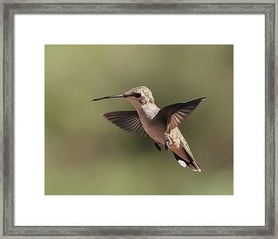 Broad-tailed Hummingbird 1 Framed Print