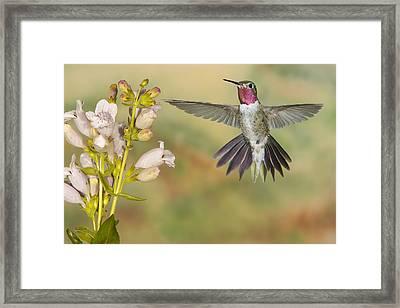 Broad Tailed Hummingbird 2 Framed Print