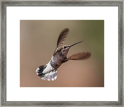 Broad-tailed Hummingbird 2 Framed Print