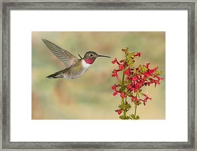 Broad-tailed Hummingbird 5 Framed Print