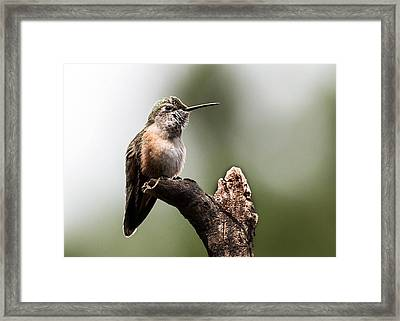 Broad-tailed Hummingbird Sit  Framed Print