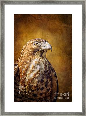 Broad Wing Hawk Framed Print by Todd Bielby