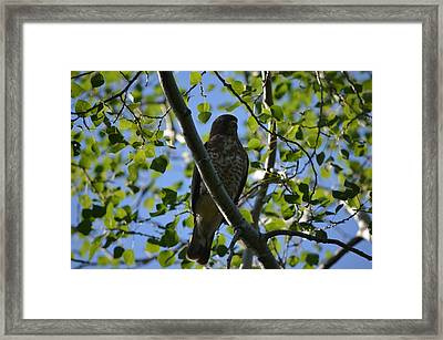 Framed Print featuring the photograph Broad-winged Hawk by James Petersen