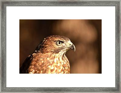 Broad-winged Hawk Framed Print by Nancy Landry