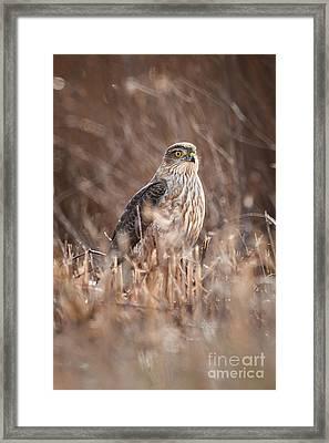 Broad-winged Hawk Framed Print