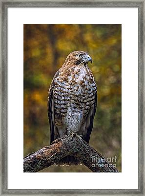 Broad Winged Hawk Framed Print by Todd Bielby